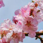 japanese cherry trees 3291292 1920 150x150 - 実際にあった介護の季節別レクリエーション